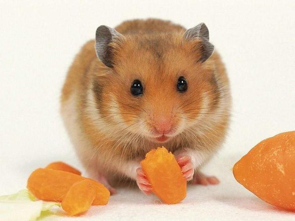 Морковь, орехи и зерно обязательно должны присутствовать в рационе хомяка