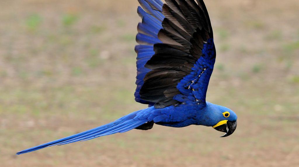 Размер тела птицы 40-60 см, размах крыльев от 70 см