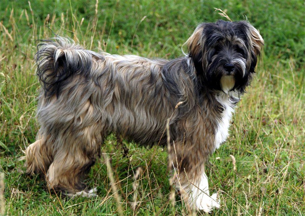 43 лучших гипоаллергенных пород собак и причины возникновения недуга