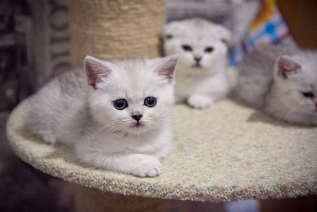 Кошка британская шиншилла завоевала всемирную популярность благодаря внешности