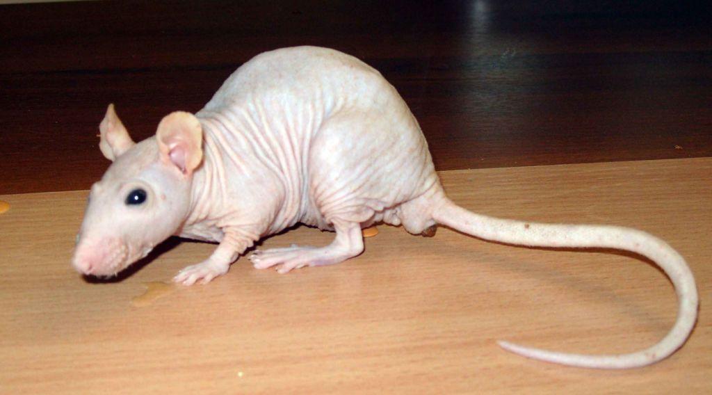 таит себе крысы сфинксы фото барс это просто