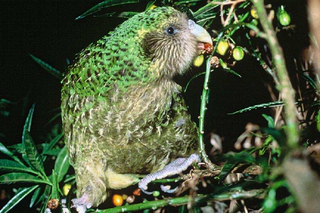 Плоды риму - так называли эти деревья маори, являются основным питанием какапо