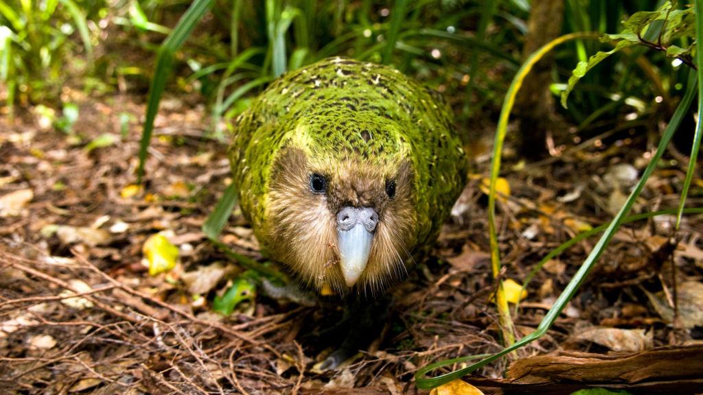 Совиные попугаи - крупные птицы, обладающие необычным голосом