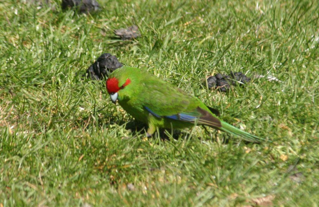 Какарики относятся к категории маленьких попугайчиков, которые довольно шустро перемещаются по земле
