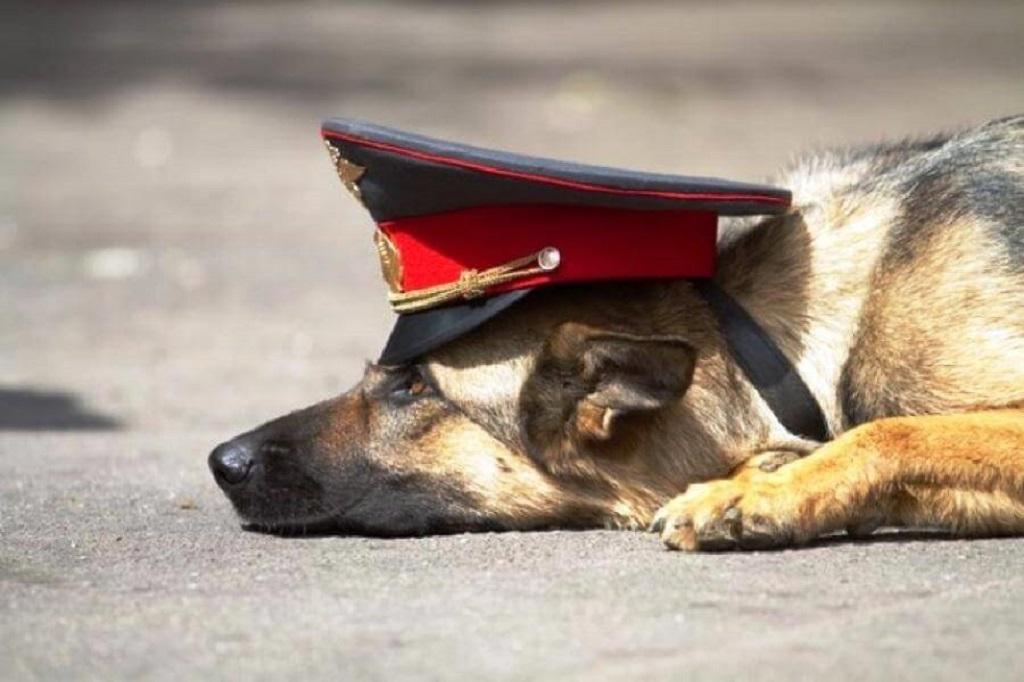 11 лучших служебных пород собак