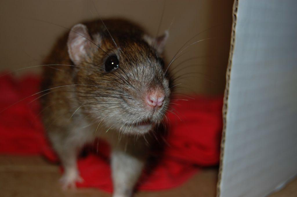 Самка крысы готова к оплодотворению уже через 18 часов после родов