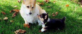 Собаки с короткими лапами