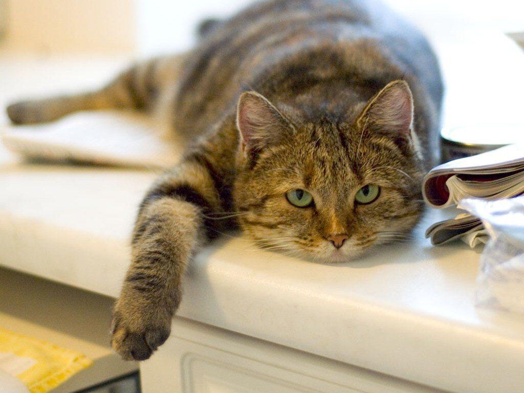 Если вы подобрали на улице слабую и истощённую кошку, не спешите откармливать её