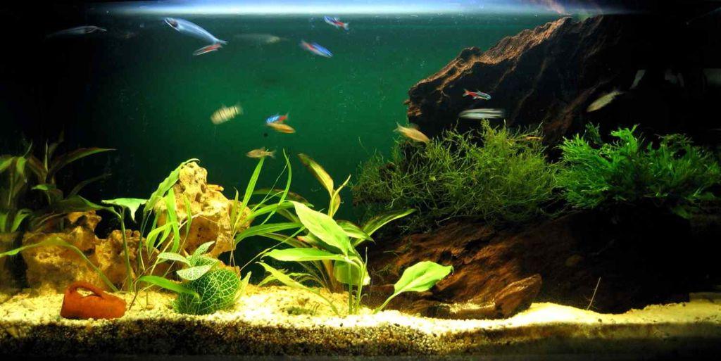 Старайтесь регулярно чистить аквариум, собирать отмершие растения и вовремя подменивать воду