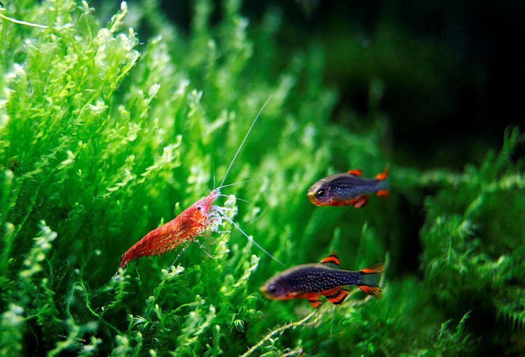 В одном аквариуме можно содержать мирных креветочных и неагрессивных рыбок