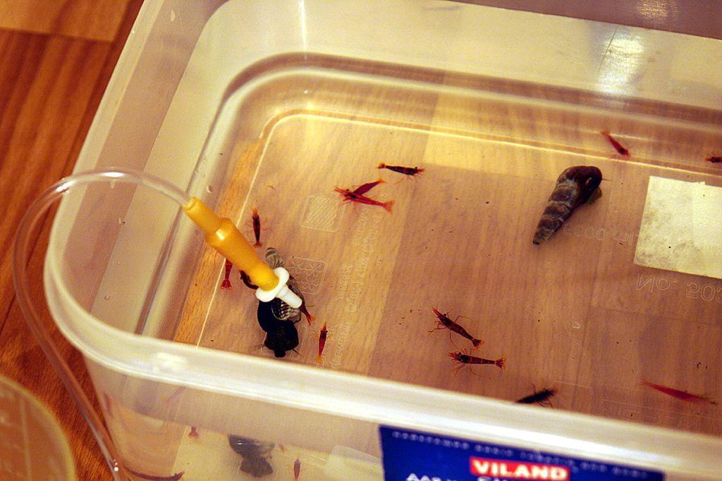 Подсаживать купленную креветку в аквариум стоит после предварительного карантина