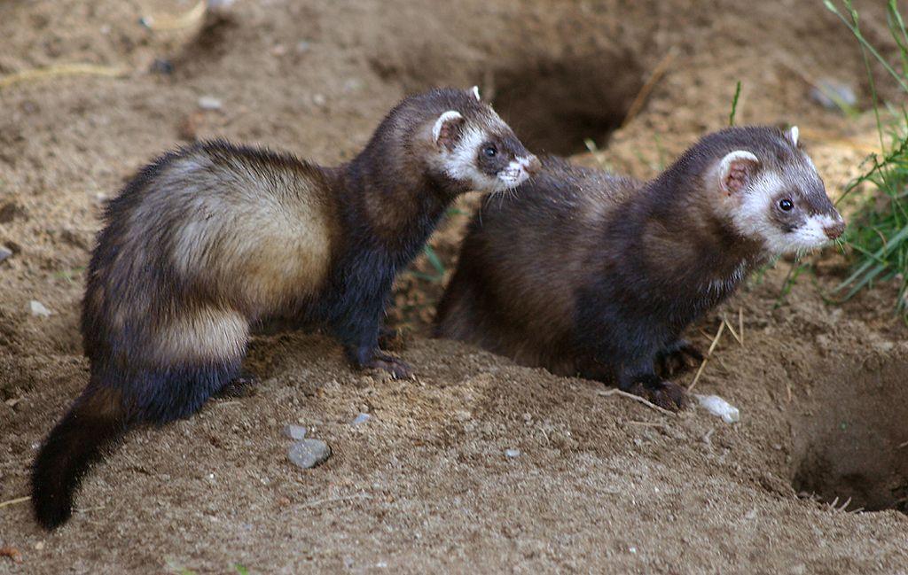 С родственниками и другими представителями своего вида он общается только весной, в период спаривания