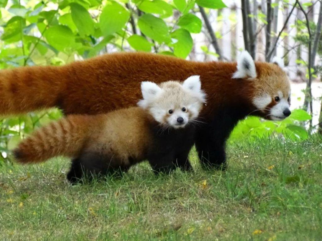 Щенки красной панды очень привязаны к матери, но не знакомы с отцом: он оставляет партнершу сразу после спаривания