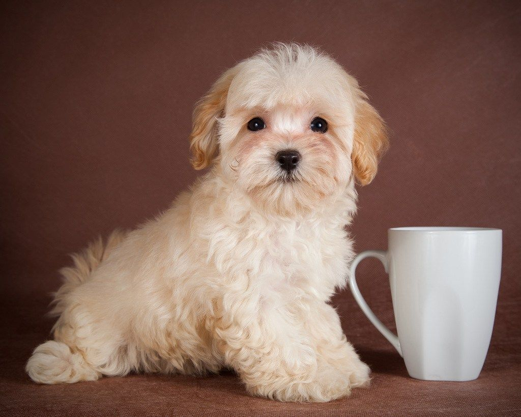 Описание породы собак мальтипу