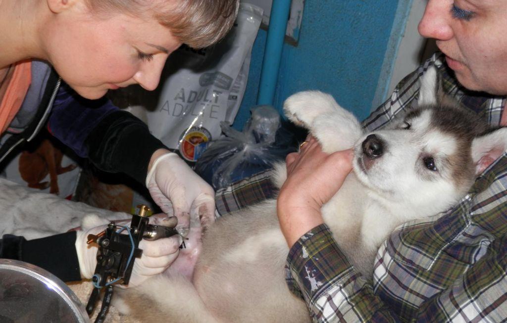 Что такое клеймо у собак и как его делают