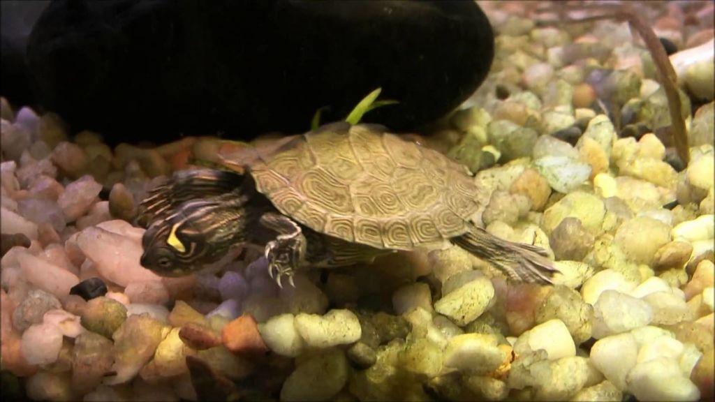 Юные черепашки не прочь поживиться аквариумными рыбами, такими как гуппи, данио, расборы