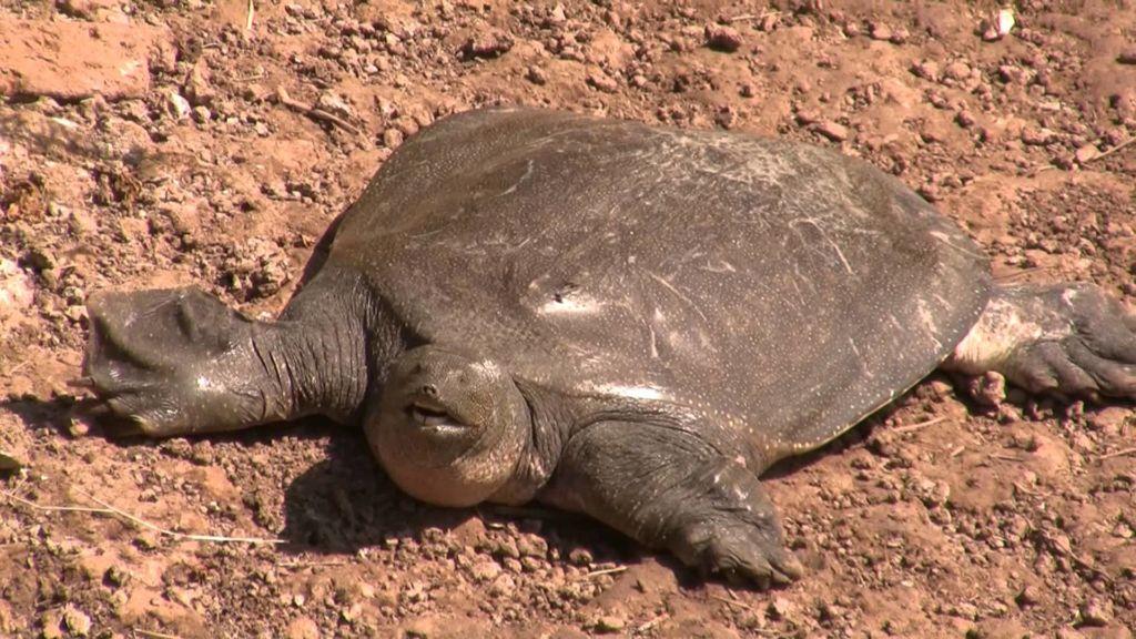 Почему у черепахи мягкий панцирь и что делать
