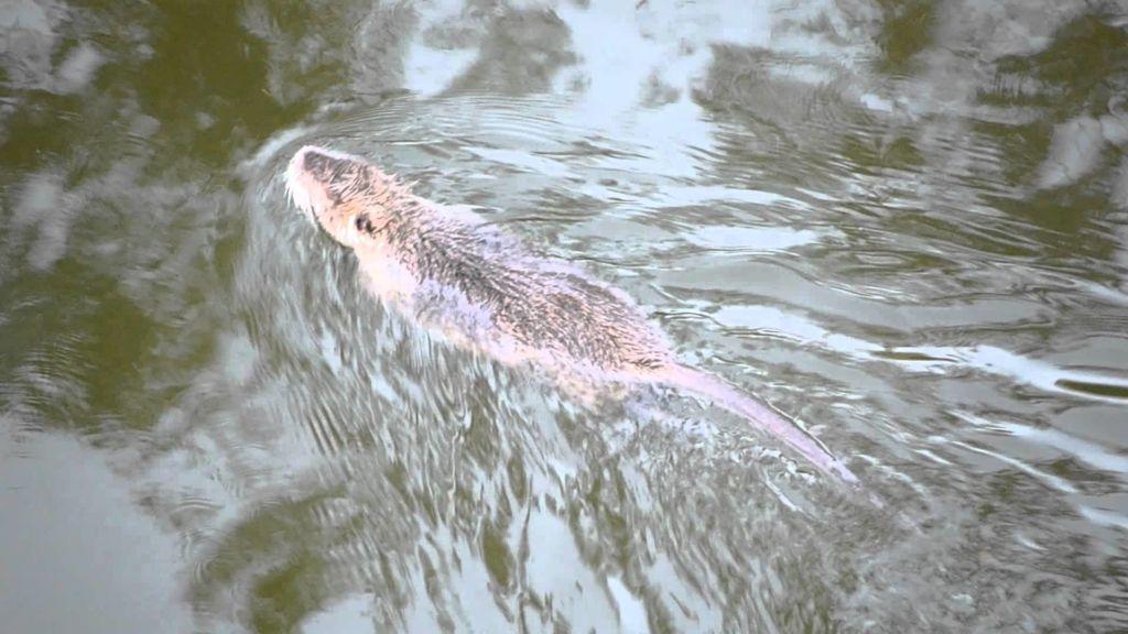 Водяные крысы хорошо плавают