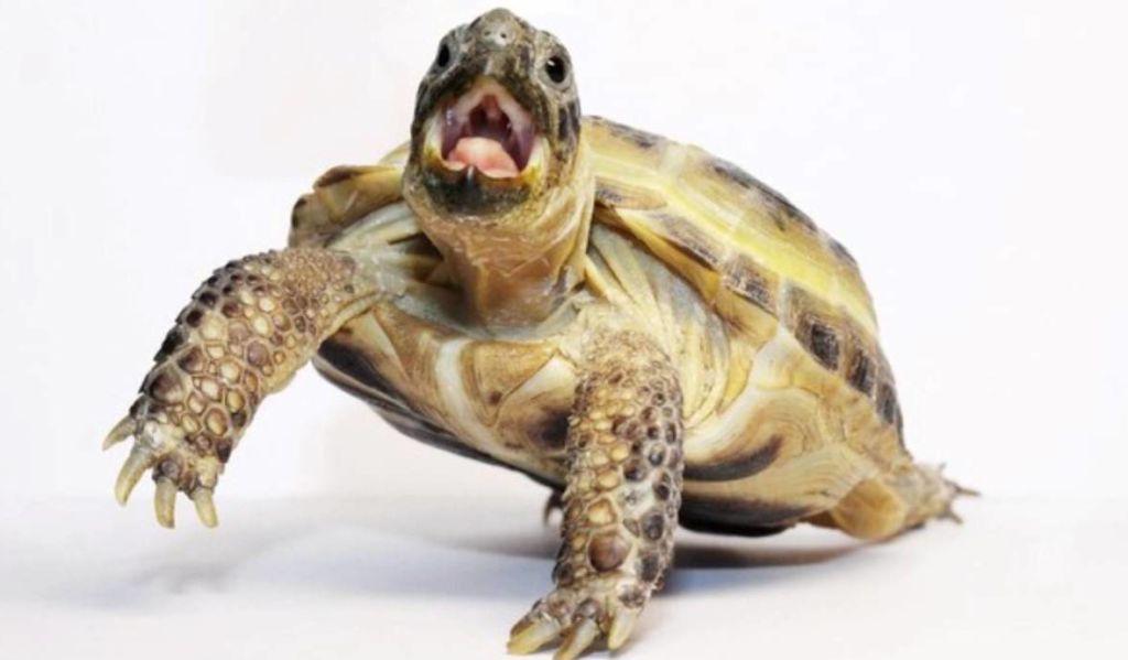 Правильный уход и содержание среднеазиатской черепахи