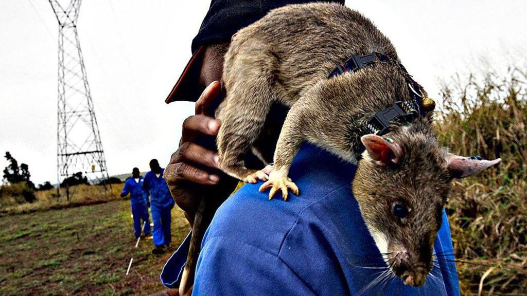 Африканская крыса граската — самая большая крыса в мире