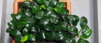 Подробное описание аквариумного растения анубиас нана