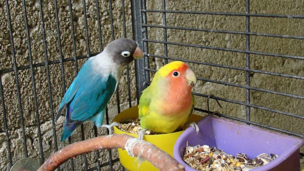 Попугаи в клетке для квартиры
