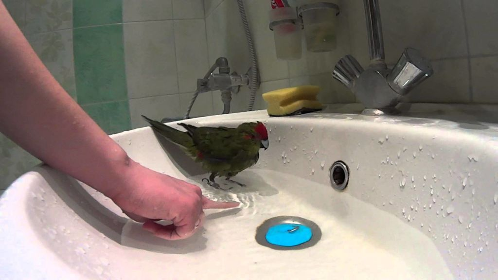 Какарики очень любят купаться