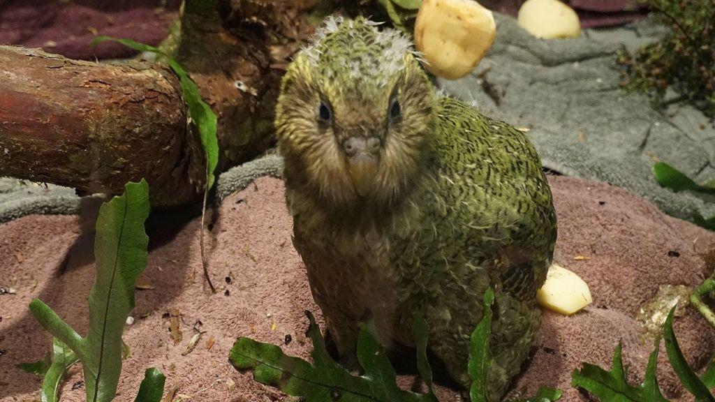 Какапо также являются самыми тяжелыми попугаями