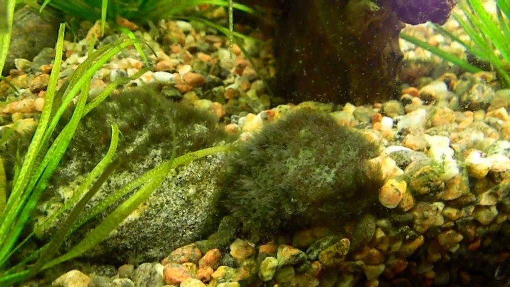 Подробное описание черной бороды в аквариуме и 7 способов как избавиться от компсопогона