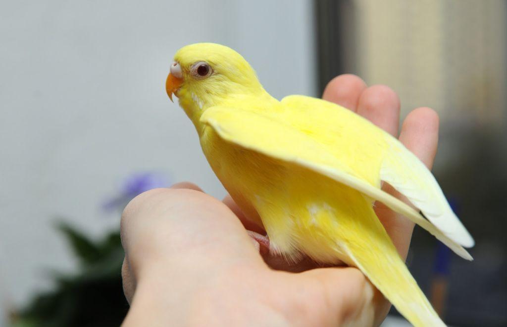 Любое нетипичное поведение вашего попугая должно насторожить