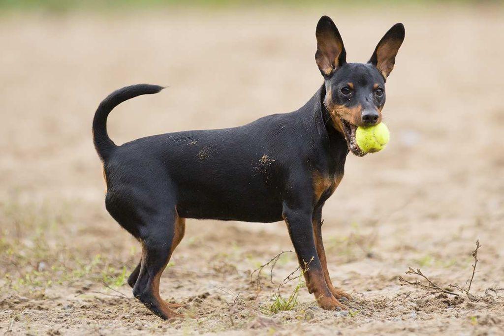 Картинки карликовые породы собак