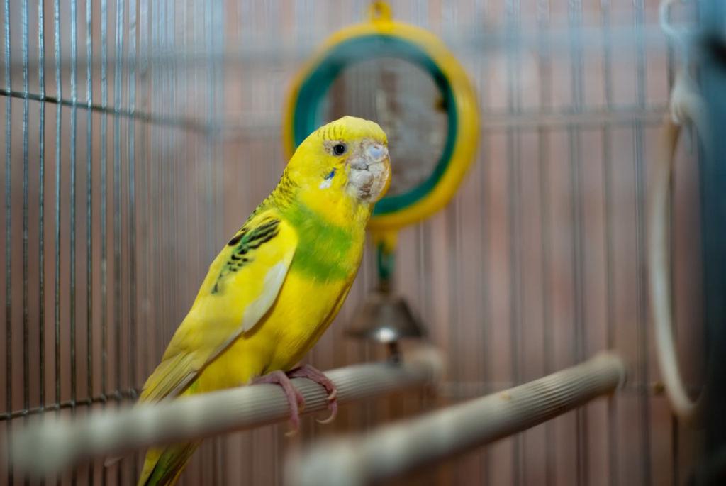 12 самых опасных болезней волнистых попугаев
