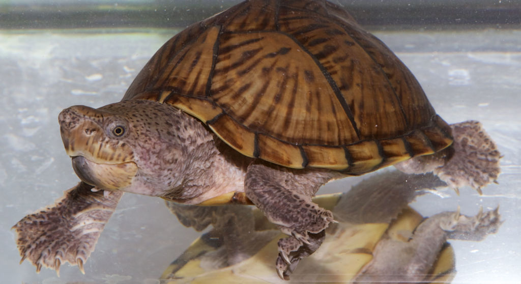 Эти рептилии полностью водные, практически не выползающие на сушу погреться