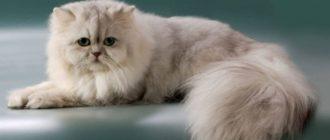 Подробное описание породы кошек персидская шиншилла