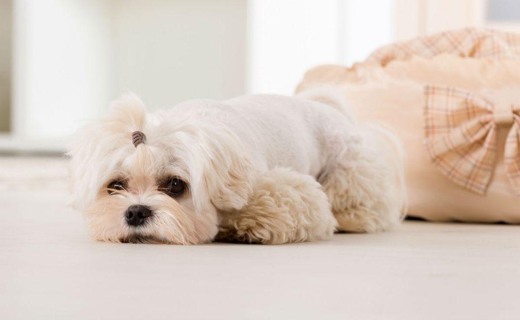 Овуляция у собак