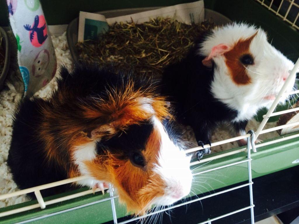 Розеточные свинки – дружелюбны и жизнерадостны