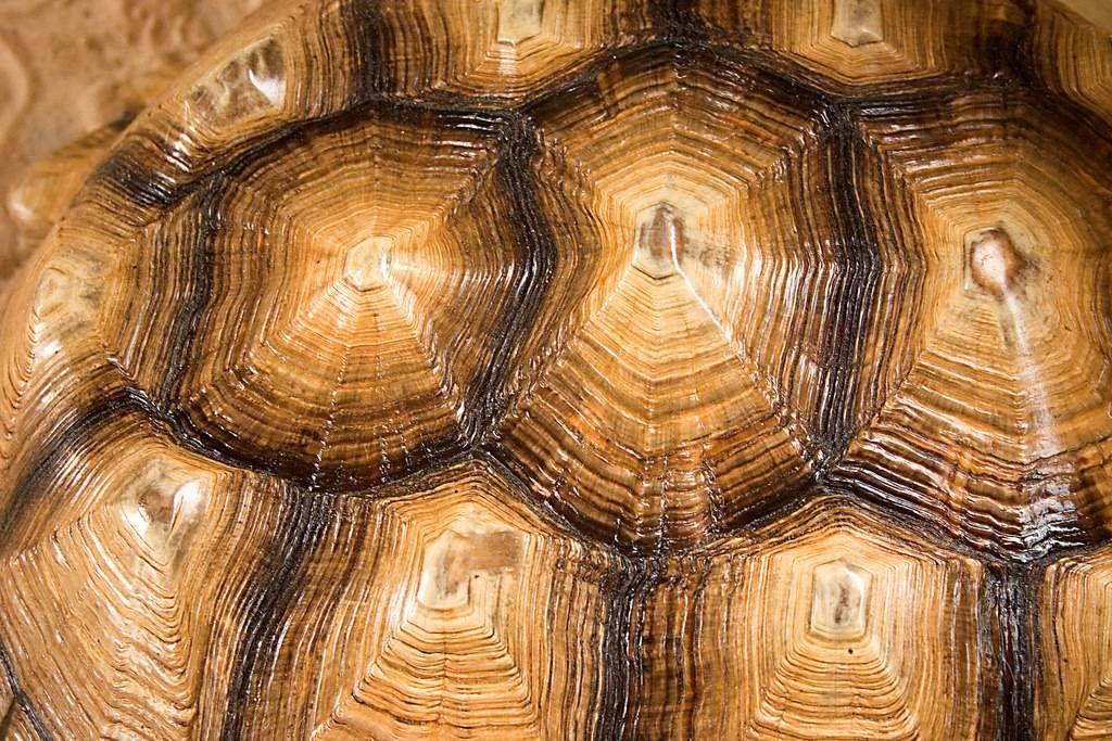 Анатомия скелета и панциря черепахи