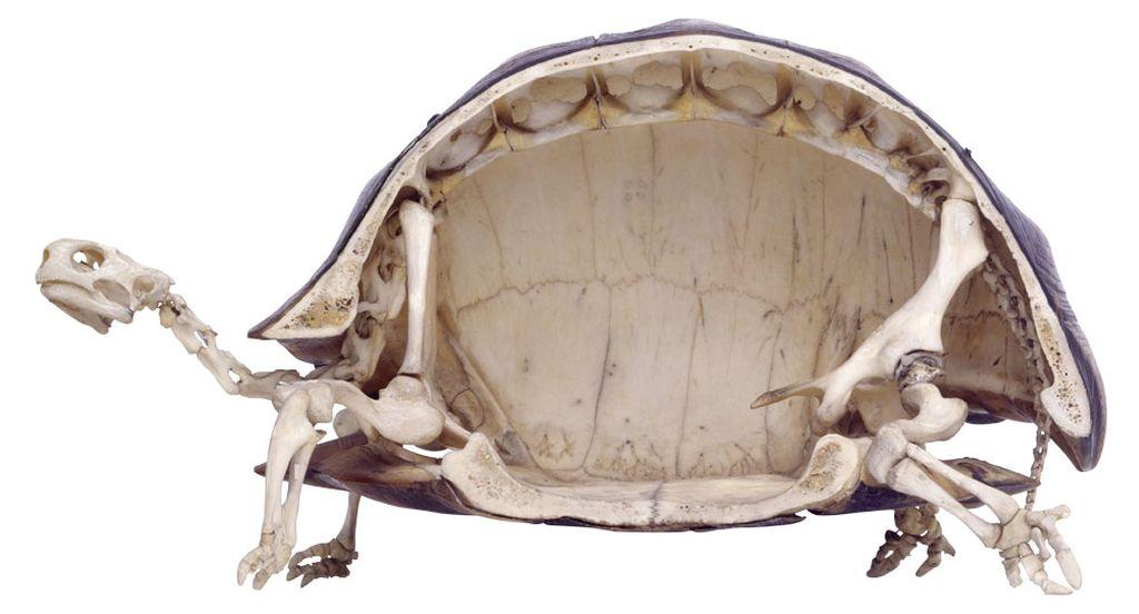 Панцирь и скелет черепахи в разрезе