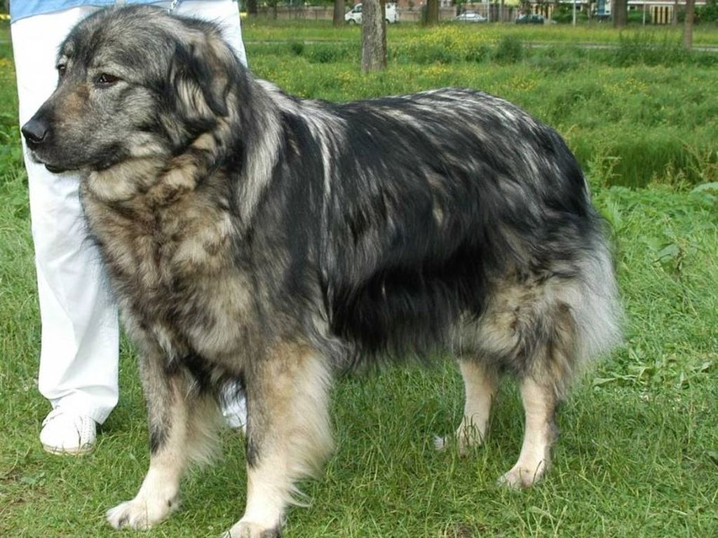 Румынская овчарка