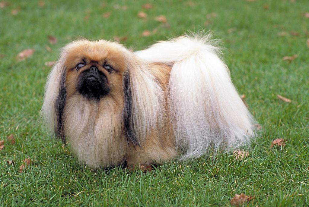 Пекинес - представители одной из древнейших пород собак