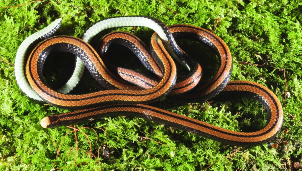 Загадочная змея колуброэлапс