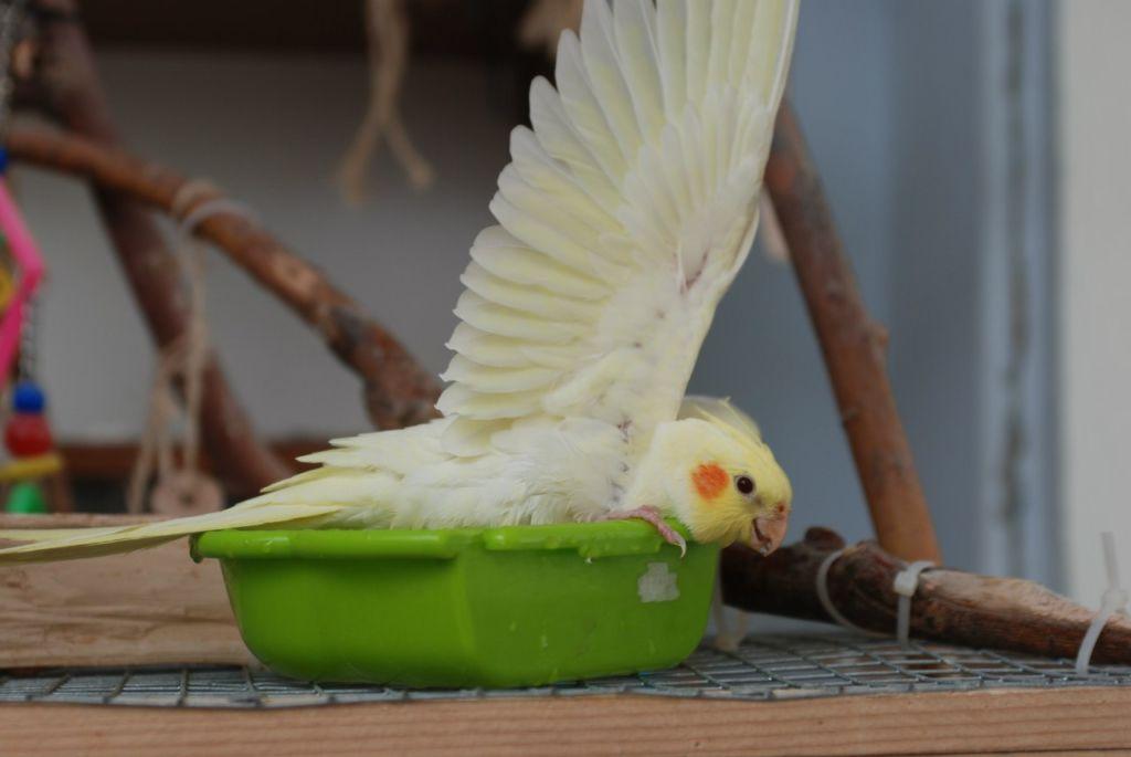 Попугая нельзя купать насильно, он сам должен проявить интерес