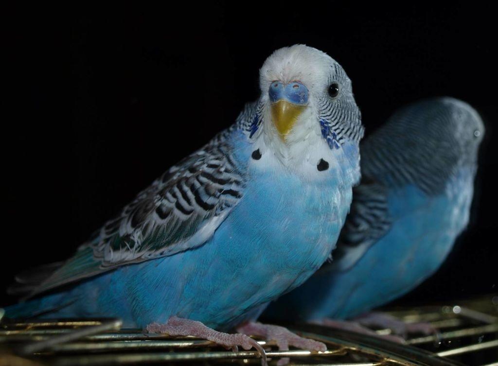 Помимо срочной дезинфекции клетки и ее содержимого, приведите в порядок птичку