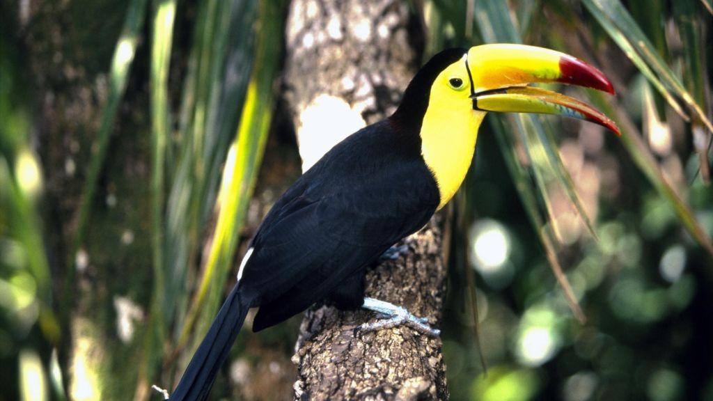 Тукан —птица с большим желтым или оранжевым клювом