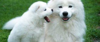 Белые пушистые собаки