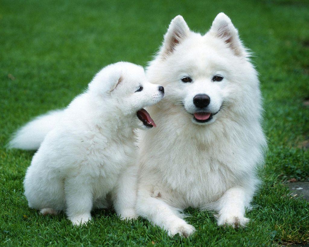 белые большие собаки