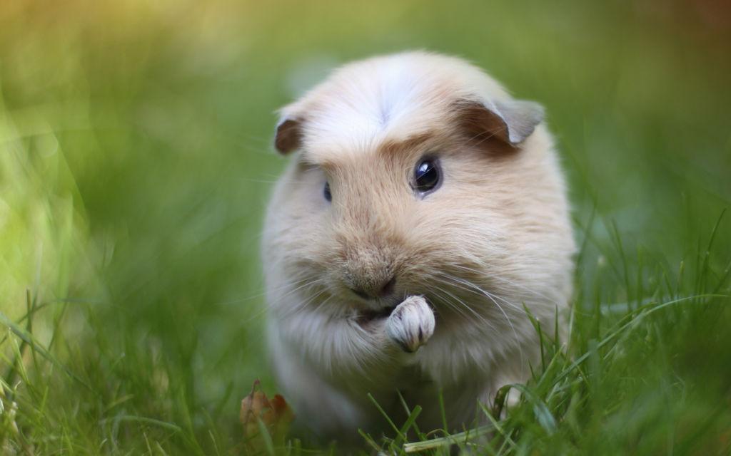 3 распространенные версии, почему морская свинка так называется