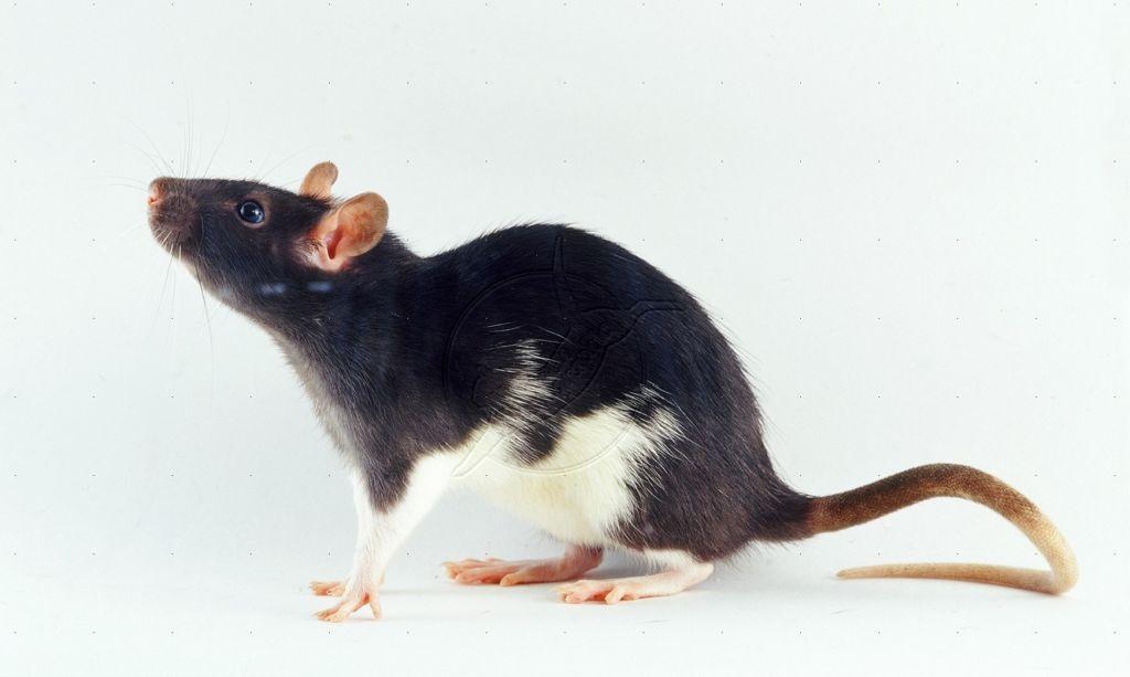 Декоративная крыса породы стандарт