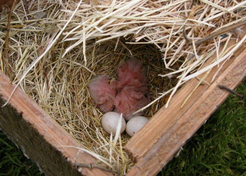 Все птенцы вылупляются постепенно, так же как и осуществляется кладка