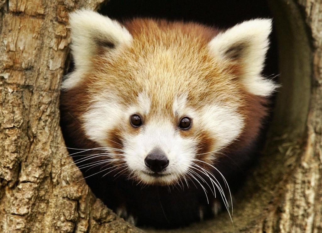 Днем красная панда отсыпается в дуплах либо гнездах